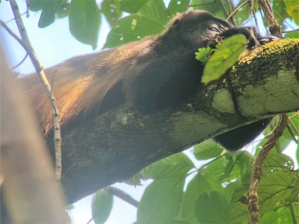 sleeping howler monkey