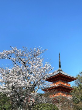 cherry blossoms temple