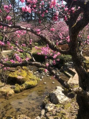 Kenrokuen Gardens plum blossoms